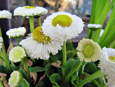 1gänseblümchen weiß