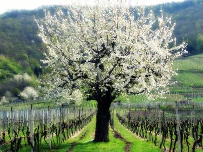 1blütenbaum bearbeitet