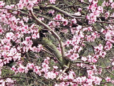 1pfirsichblüten 2