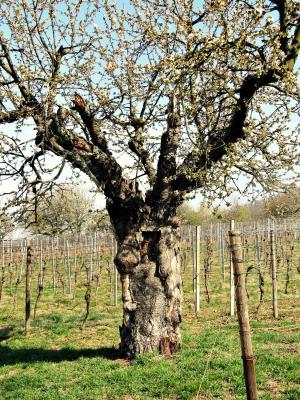 1deraltekirschbaum