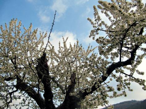 1alterkirschbaum blüht