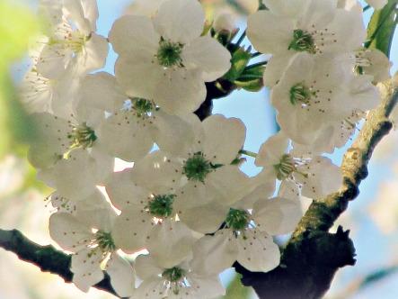 1kirschblüte auch schön