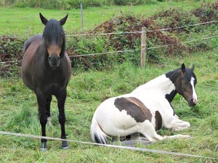 Pferde Weide