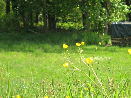 Waldwiese mit Butterblume