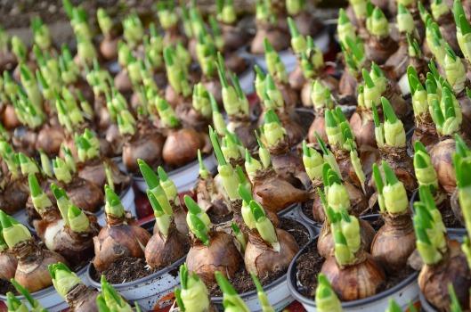 flower-bulbs-663229_1280