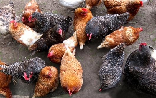 chicken-coop-1707565_1280