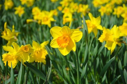 daffodil-324106_1280