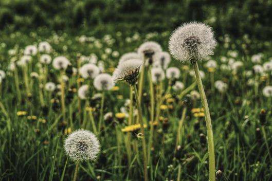 dandelion-2301220_1280